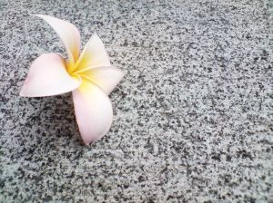 1125093_frangipani_on_granite_4