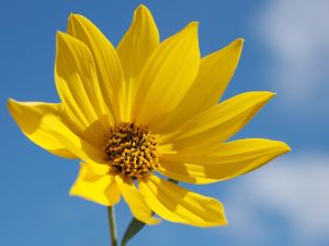 737068_sunflower