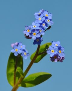 1175484_forget-me-not_flowers